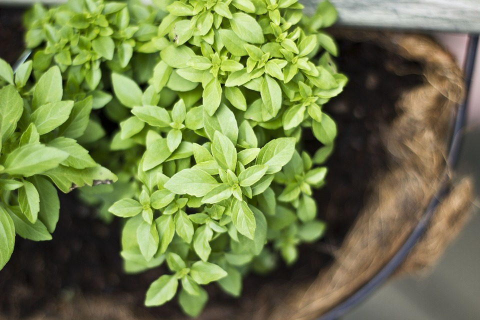 herbs-702546_960_720